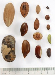 Seeds dispersed by V. variegata